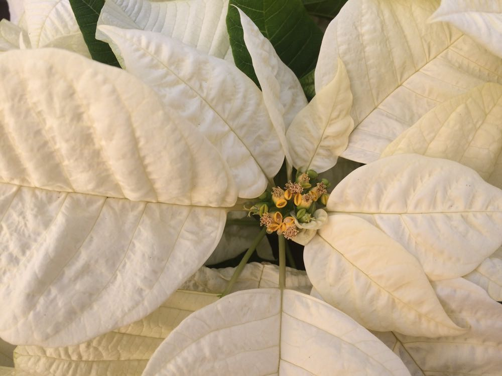 Poinsettias today are available in several colors including white as well as red and pink tones.