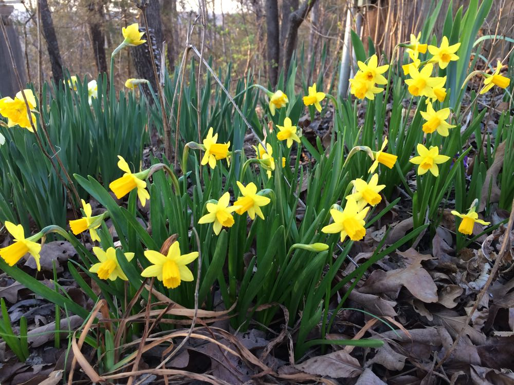 "Miniature daffodils ""Tete a Tete"" were a gift from an east coast friend last fall."