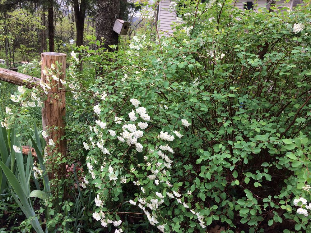 Bridal veil bush has delicate leaves and makes a nice focal point in a garden corner.