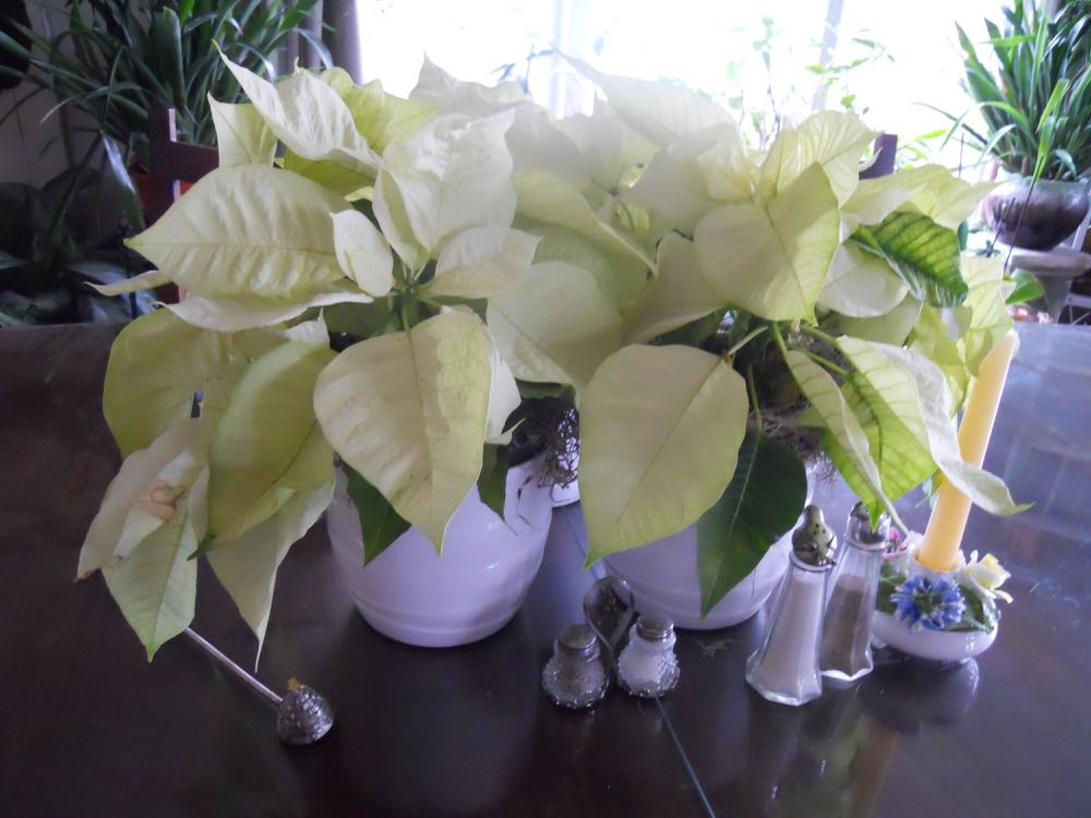 I bought these three white poinsettias for 89 cents each right after Christmas, still enjoying them!