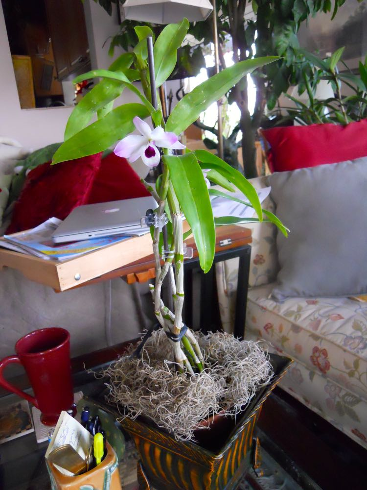 This dendrobium orchid from Burma is now blooming and sitting on my den coffee table. Greenery can be as simple as a small blooming orchid.