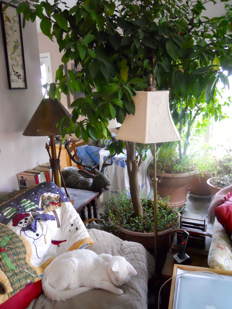 In winter, my larger plants are scattered through the house, this is an orange tree.