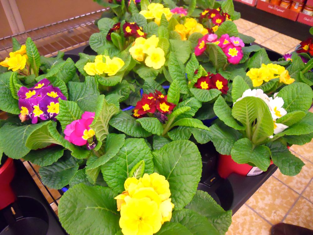 A lovely variety of English primroses for sale for 99 cents at one of our local grocery stores.
