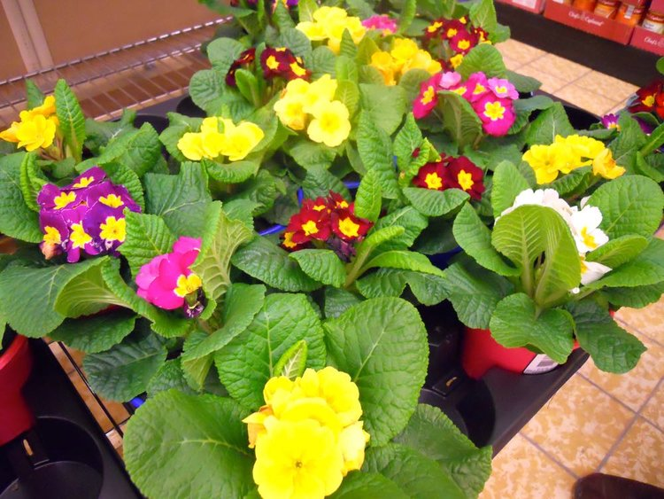 February gift flowers primroses or violets made just for u a lovely variety of english primroses for sale for 99 cents at one of our local negle