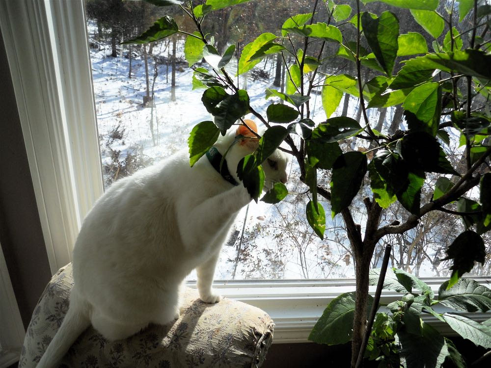 Make sure having nearby plants are not too close or they may be paw-wrestled.
