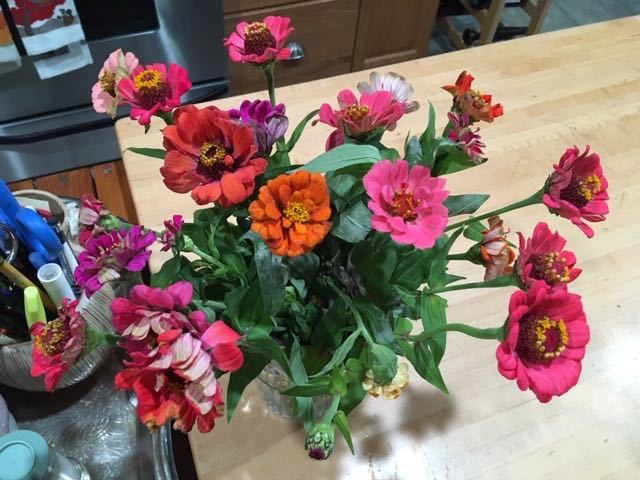 A bouquet of zinnias keeping me company in my kitchen are a beautiful summer bounty. (Photo by Charlotte Ekker Wiggins)