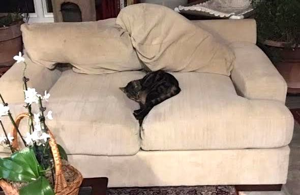One of my cats is slowly disappearing between the two love seat cushions. (Photo by Charlotte Ekker Wiggins)