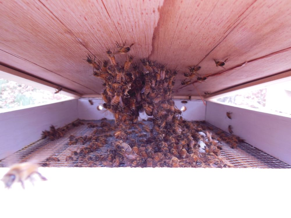 Bees eat a sugar patty and festoon under the hive lid at the end of winter.