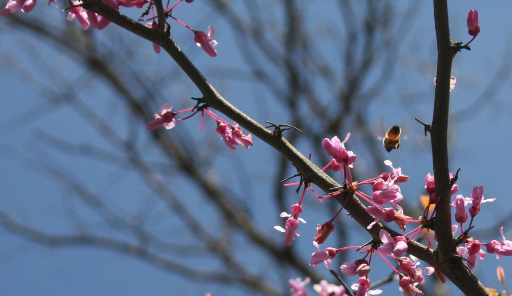 One of my honeybees visiting an Eastern redbud tree in bloom spring 2016.