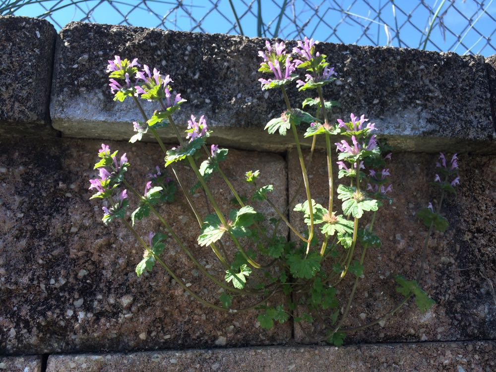 Hardy henbit grows everywhere including in rock walls.