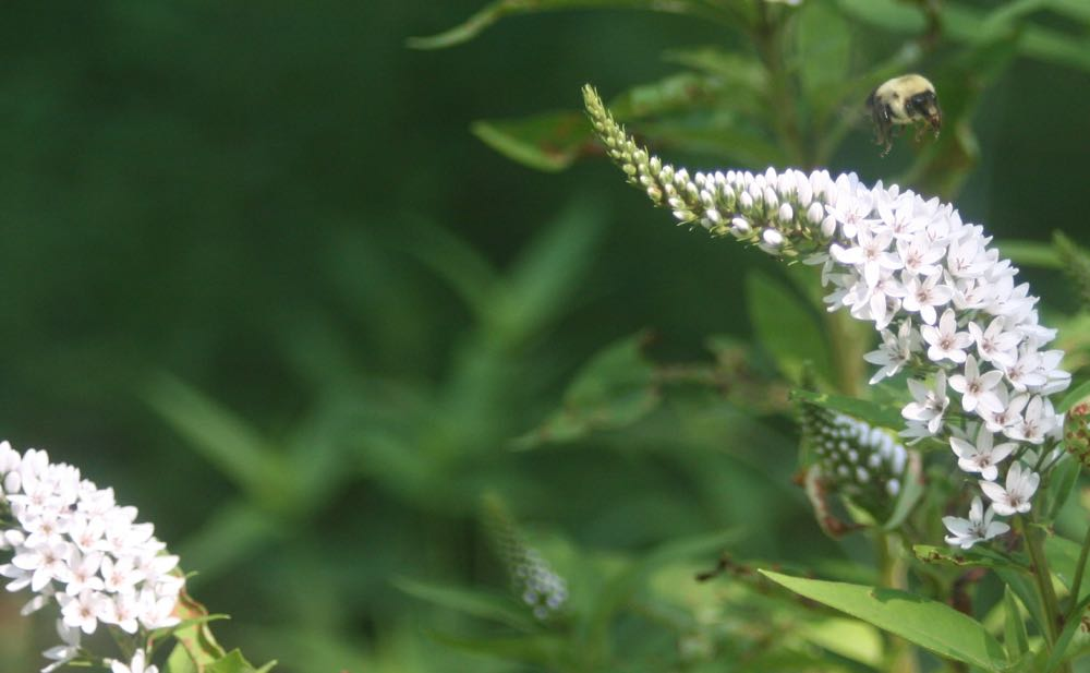 A carpenter bee visits Bluebird Gardens gooseneck loosestrife just starting to bloom.