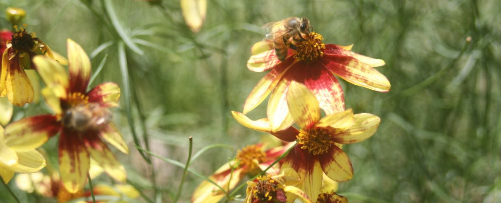 Honeybees and small native bees visit variegated coreopsis in my bee buddy David's garden.