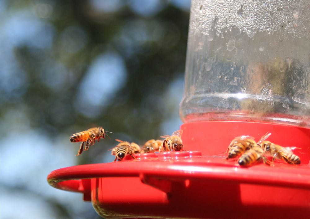Honeybees in hummingbird feeder at Bluebird Gardens.