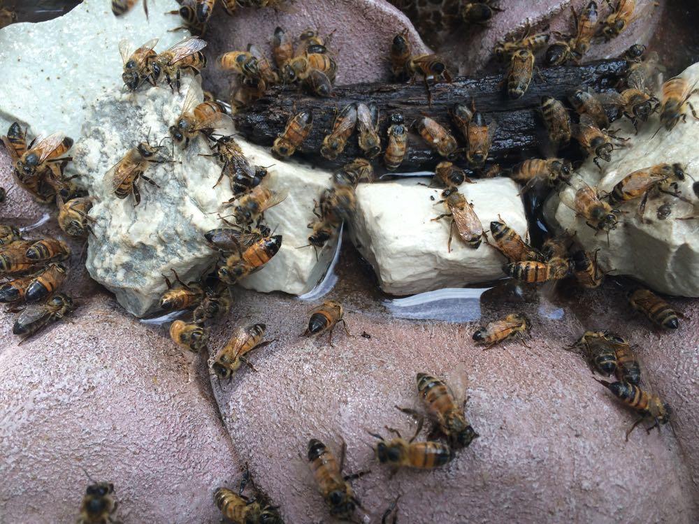 My honeybees enjoying a little sugar water drink safely in a flower-shaped birdbath in my garden.