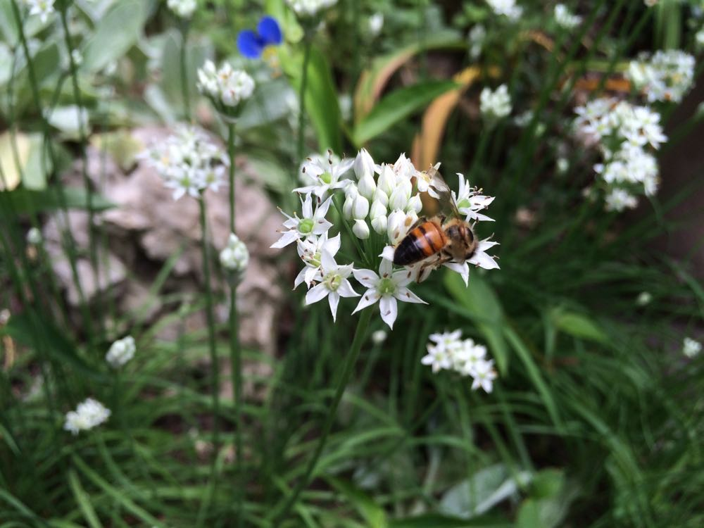 One of my honeybees discover blooming garlic chives late summer at Bluebird Gardens.