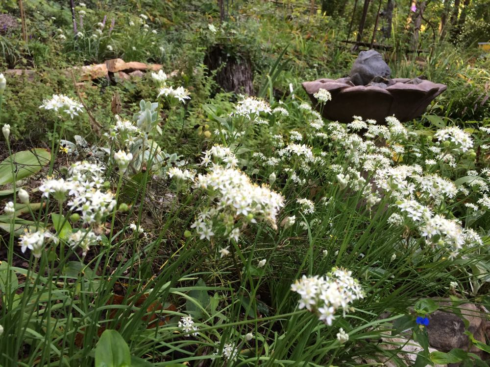 The lovely garlic chives were in full bloom August 2016 next to my bees favorite bird bath.