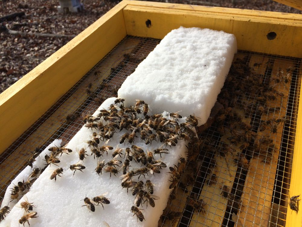 Honeybees on sugar almost two months early.