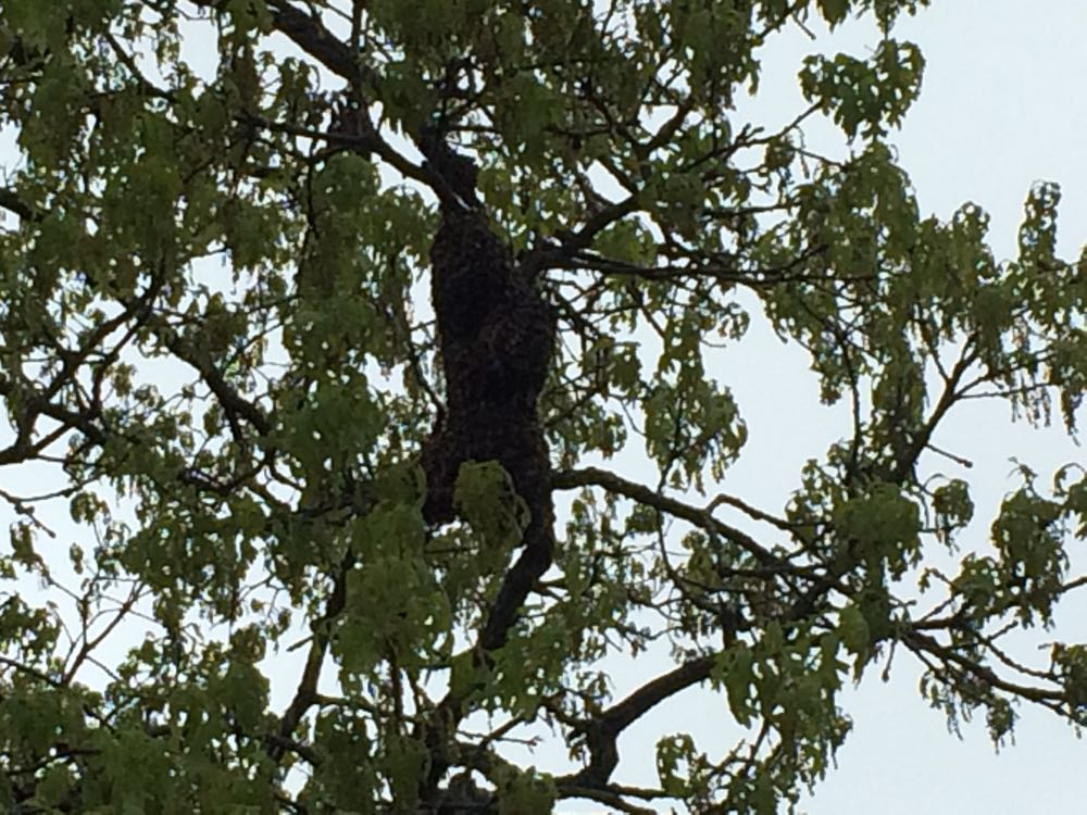 First swarm of 2017 was about 15 feet off the ground in the tree in front of a county home.
