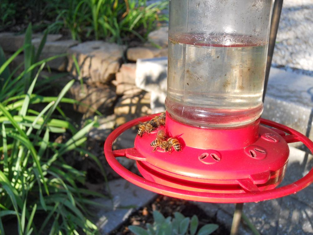 My honeybees taking a drink of hummingbird sugar water at a hummingbird feeder.
