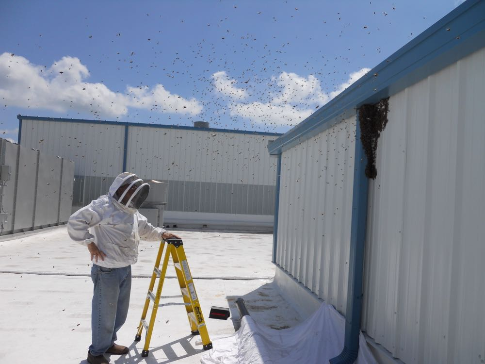 My bee buddy David just as the swarm started to leave us, we followed them across the roof.