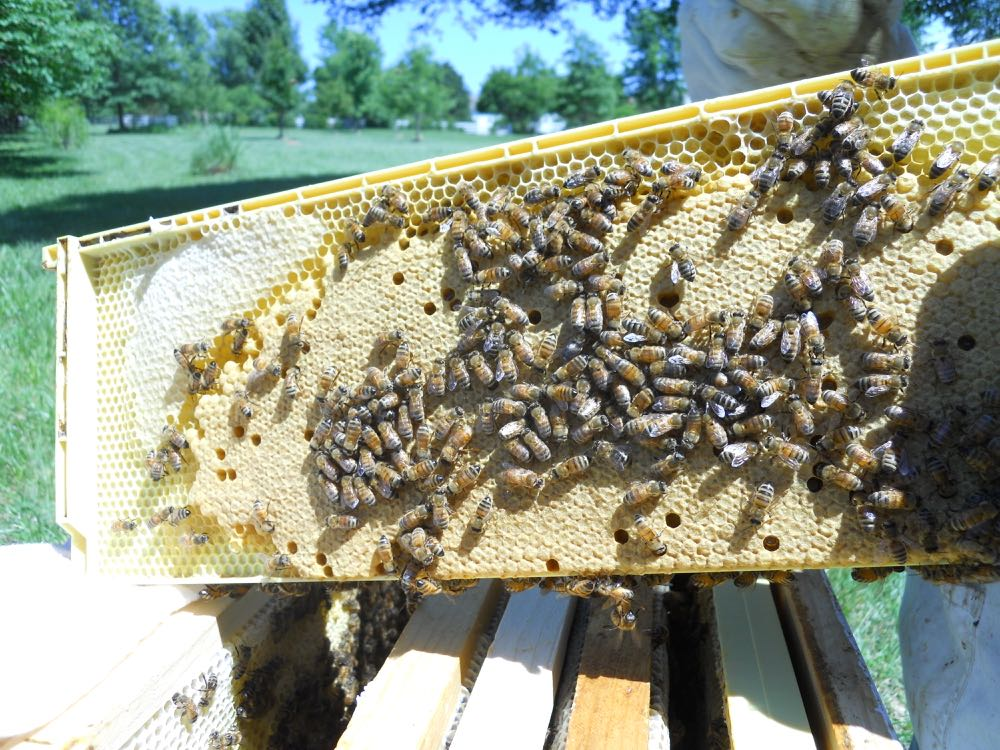 A lovely frame of baby bees found during an inspection of a friend's hives.