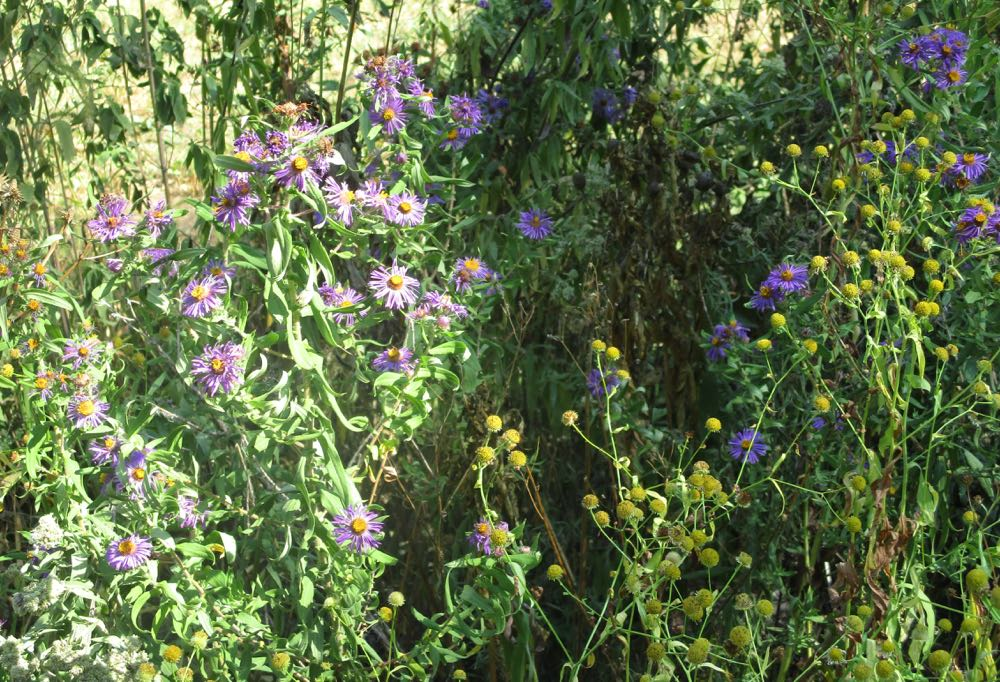 Purple woodland asters are a hardy perennial wildflower that provides bees fall pollen.