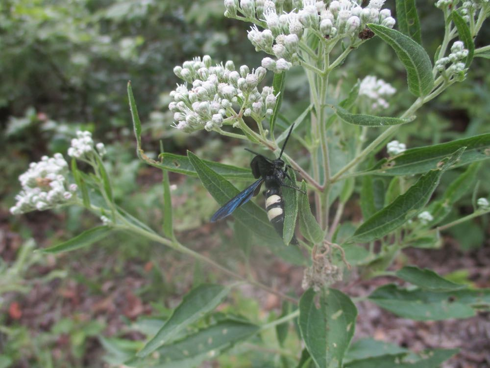 Another fall-blooming white perennial wildlfower that provides pollen is Common boneset.