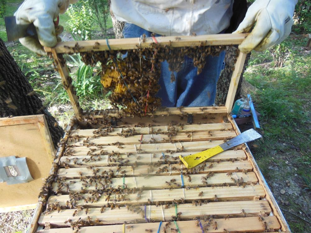 David pulls out the rubber-banded frames to see if the bees are building wax to attach comb.