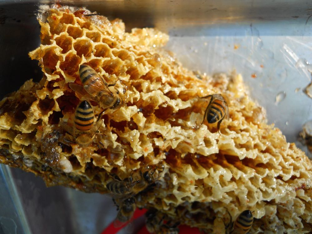 Honeybees on a piece of bees wax, it's amazing how quickly they will have it cleaned out.