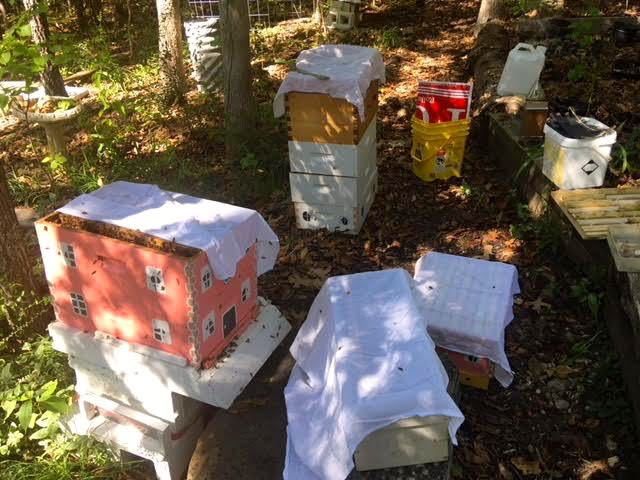 How I use muslin kitchen towels to keep my bees calm during a hive inspection.