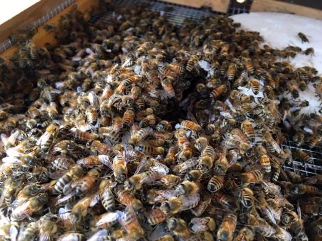 This mound of honeybees is working on a supplemental sugar cake. (Photo by Charlotte Ekker Wiggins)