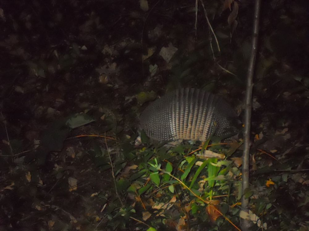 Here's a better photo. Most definitely an armadillo! (Photo by Charlotte Ekker Wiggins)
