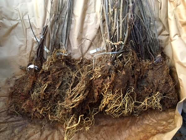 Shipped seedlings are bare root but moist. (Photo by Charlotte Ekker Wiggins)