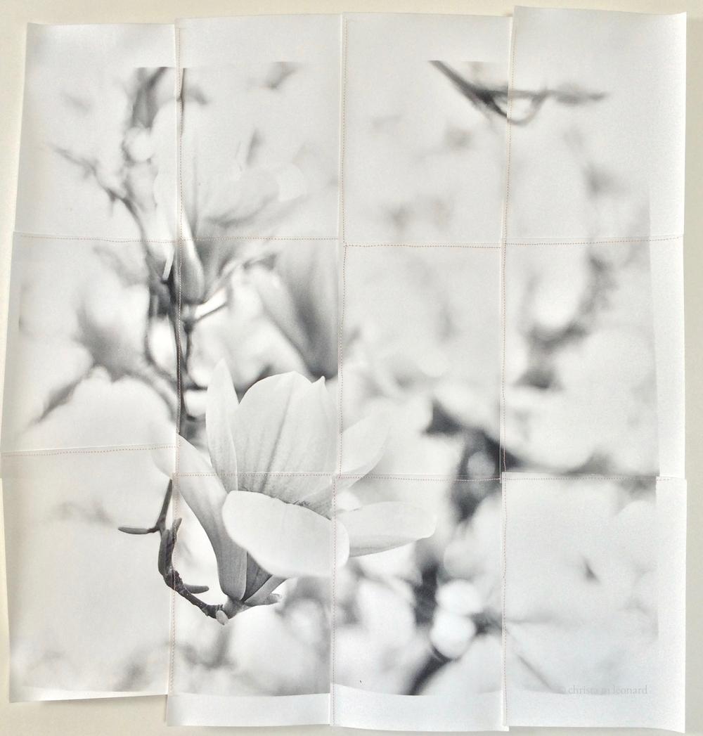 saucer magnolias 2015