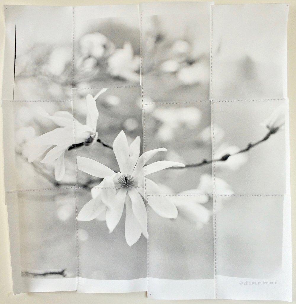 star magnolia   2015