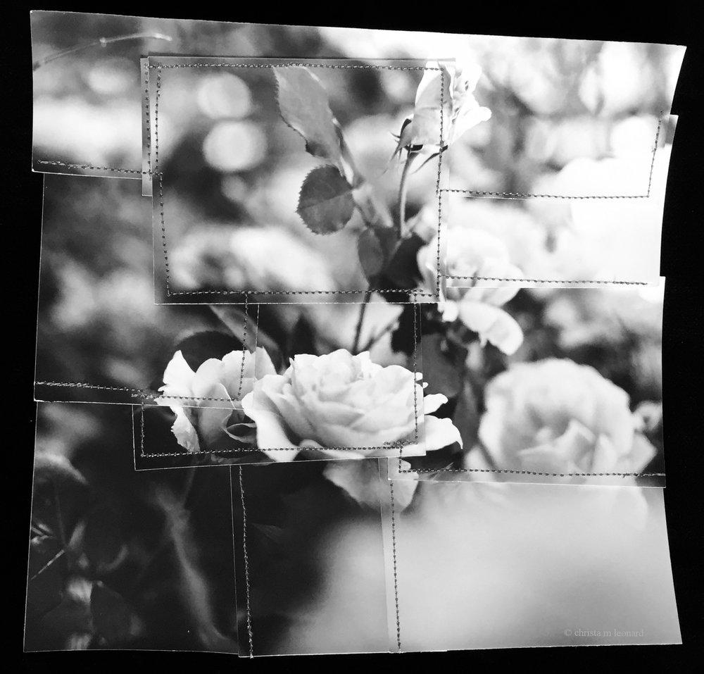 garden roses 2017