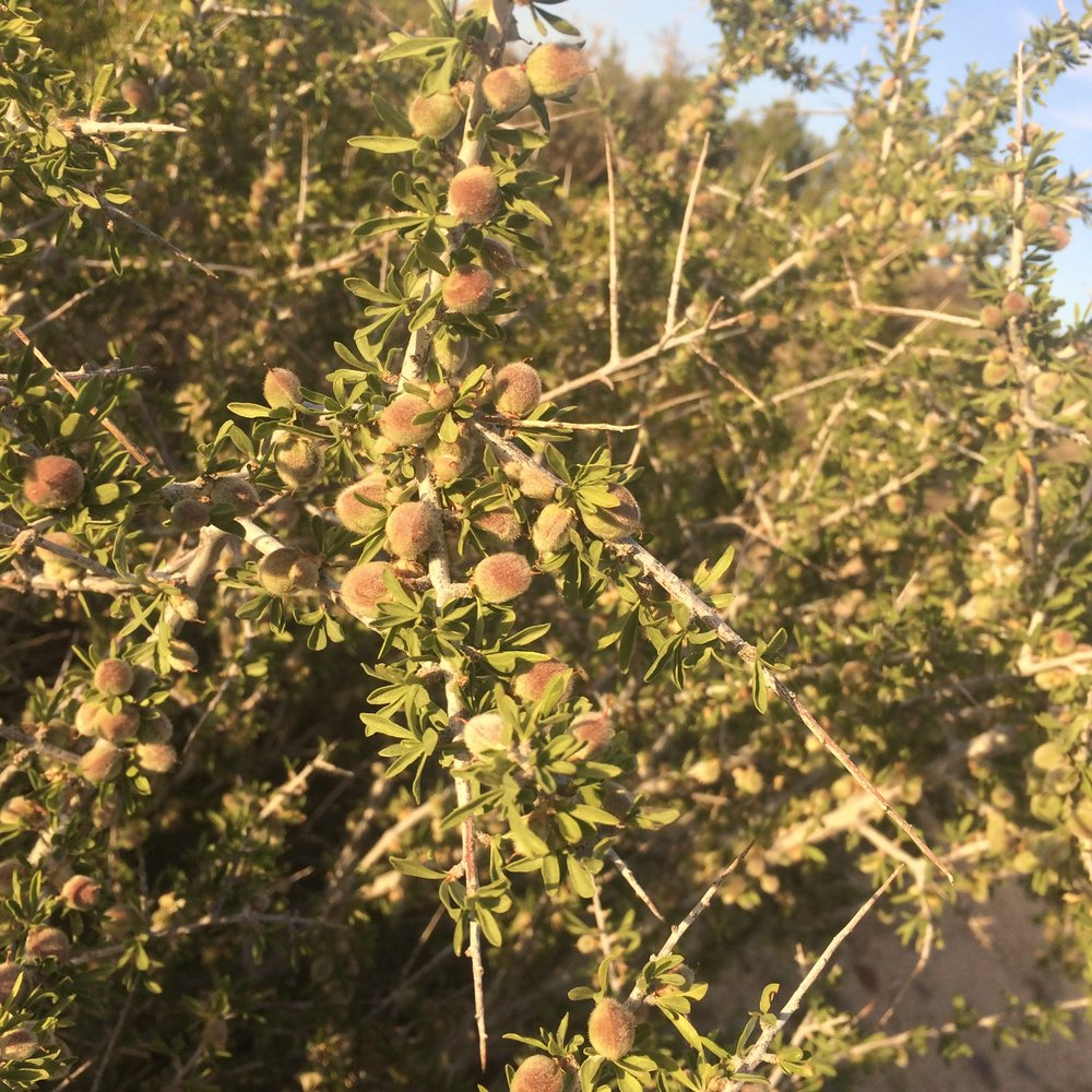 desert almond: prunus fasciculata