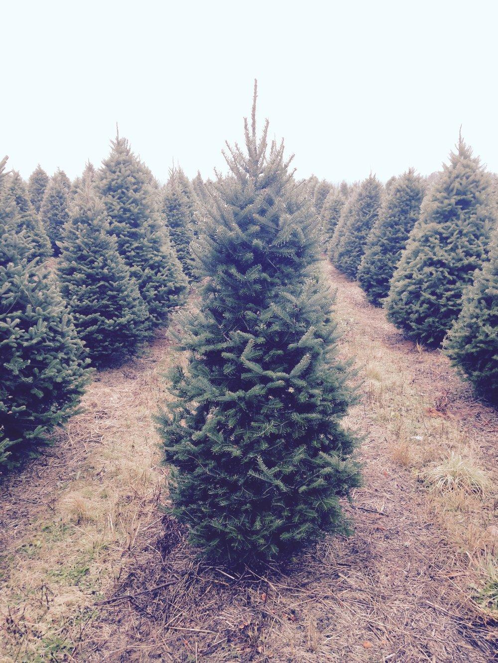 Natural-Christmas-Tree.jpg