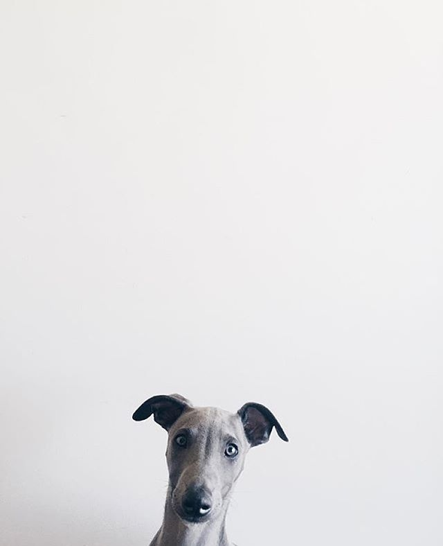 Hello Tuesday.  Photo Credit : @ziggy_whippet.  #nottinghammrkt #hello #tuesday #regram #dog #whippet #dogsofinstagram #lifestyle #homewares #interiors #accessories #clothing #market #autumn #winter #christmas #nottingham