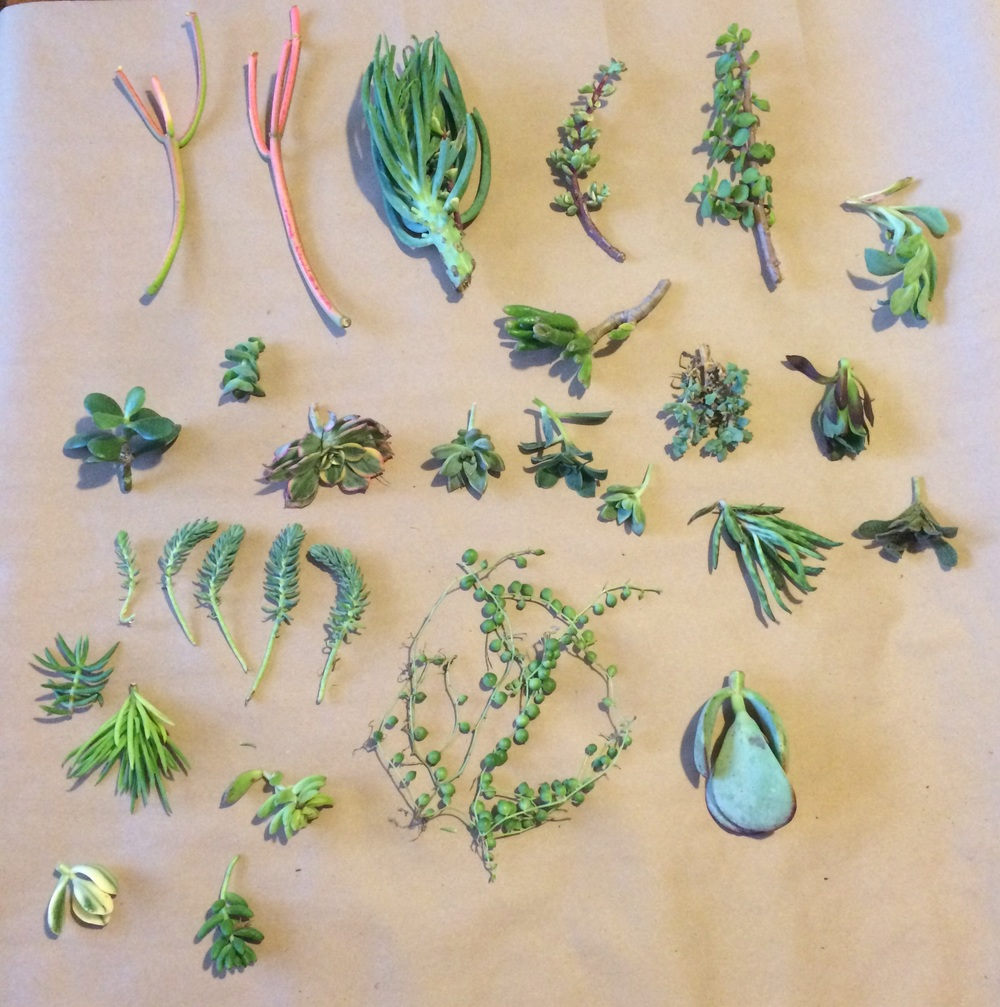 25 various succulent cuttings from Amazon {plants on Amazon...life changing.} || RustopiaConsulting.com