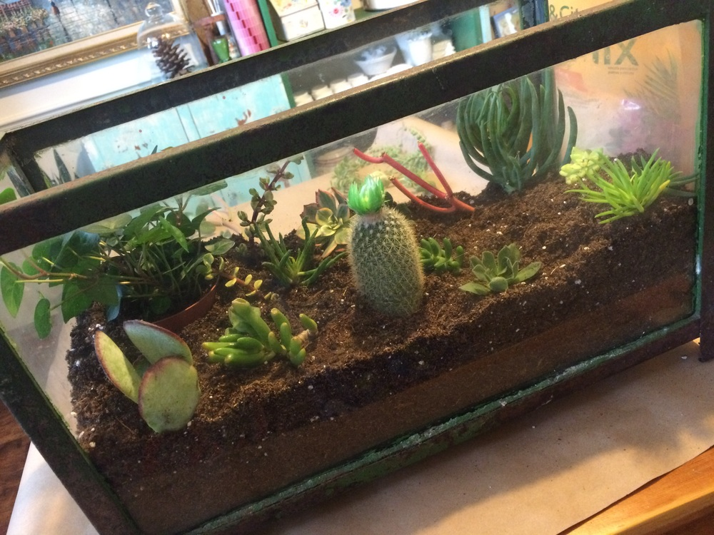 Succulents in a DIY terrarium made in an aquarium. || RustopiaConsulting.com