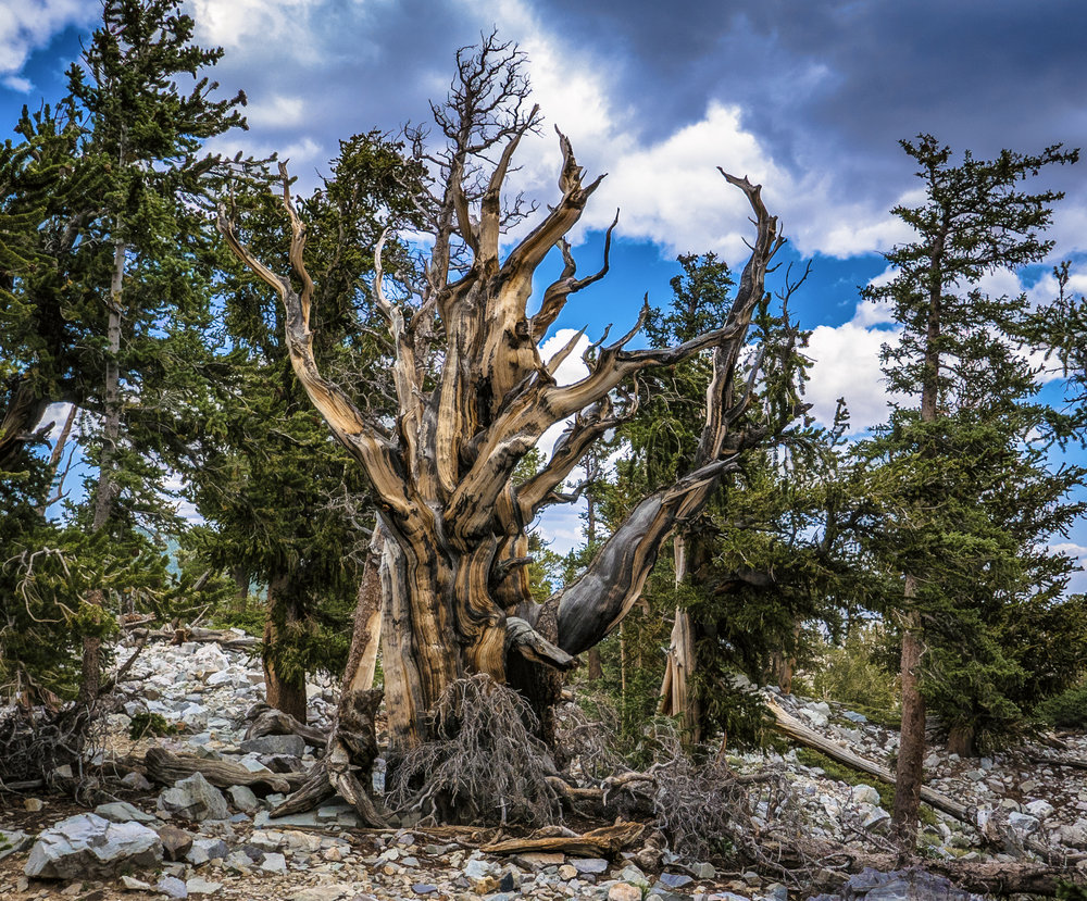 Alive or dead? It is hard to tell with a bristlecone pine. It only take one branch to stay alive.