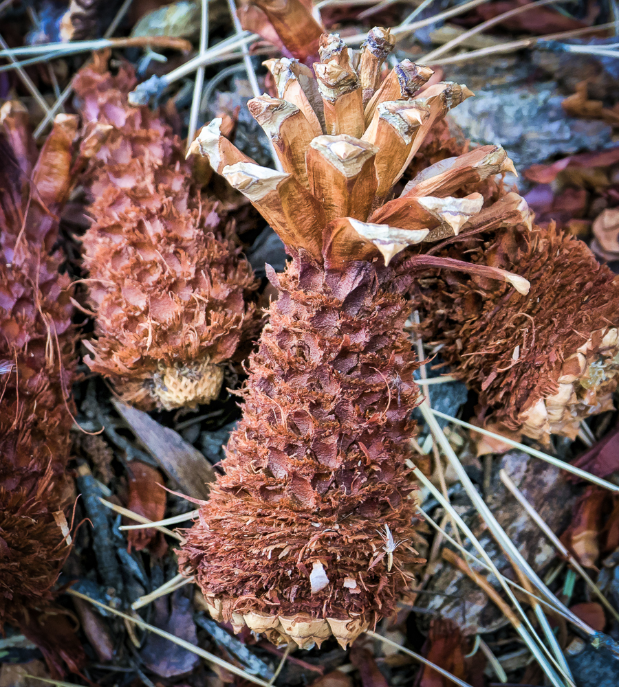 Ponderosa Pine Cones for lunch.