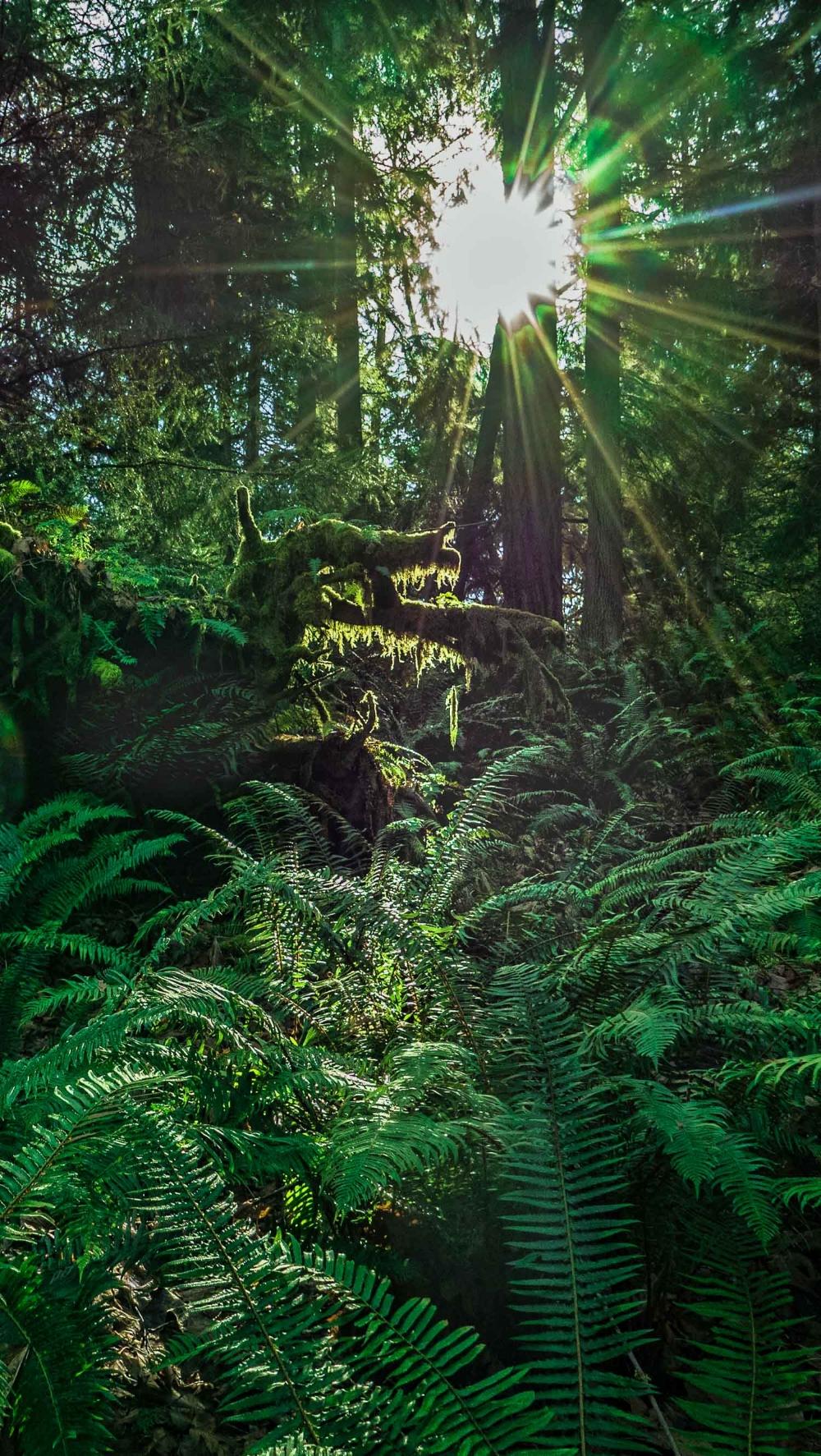 The ferns and mosses on Bainbridge Island ilike both rain and sunshine.