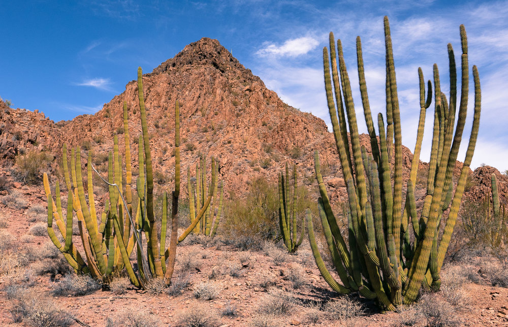 The organ pipe cactus of Organ Pipe Cactus National Monument.