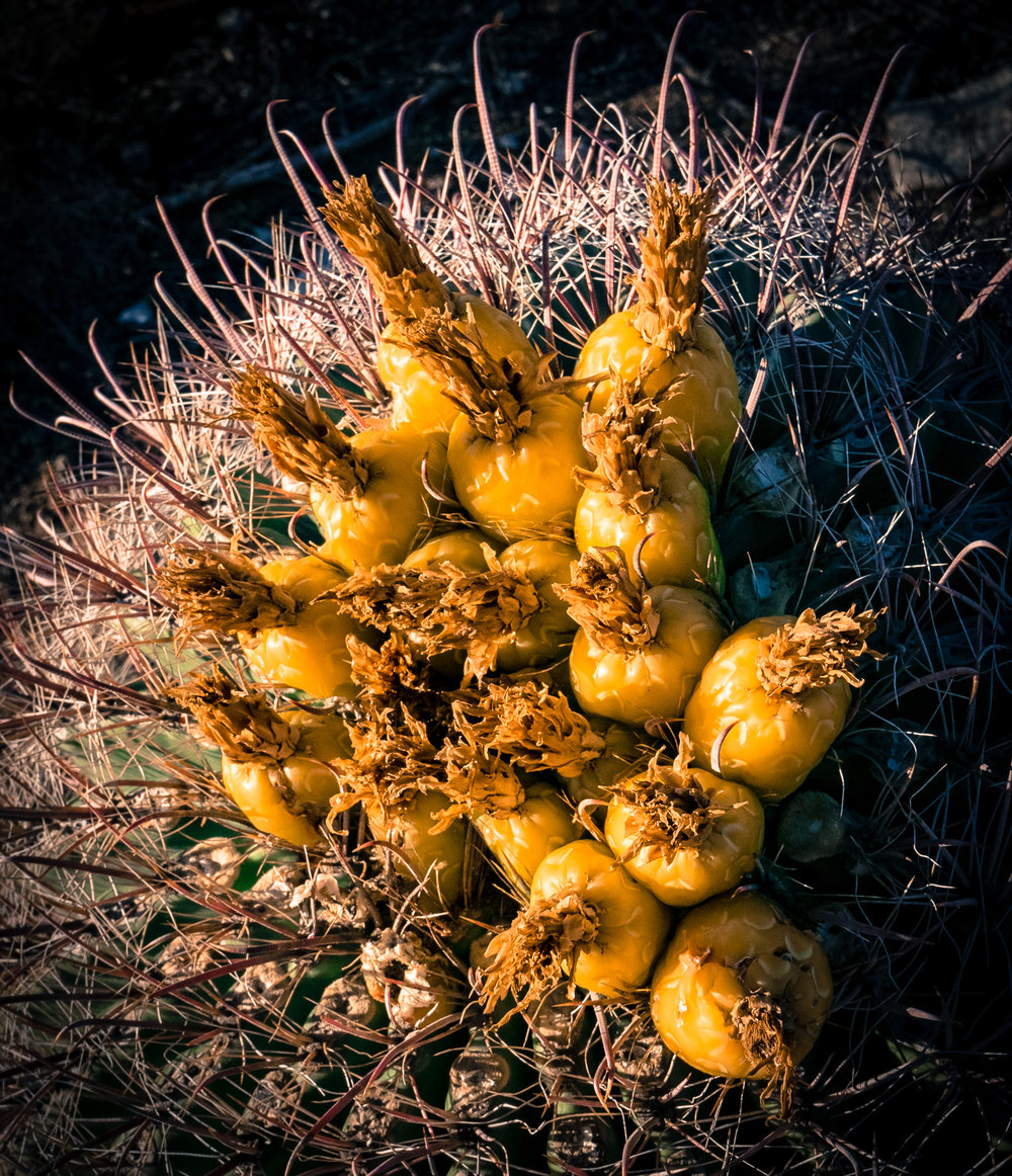 Not much blooming in March, but the barrel cactus had fruit at the Catalina State Park Visitor Center, Arizona.