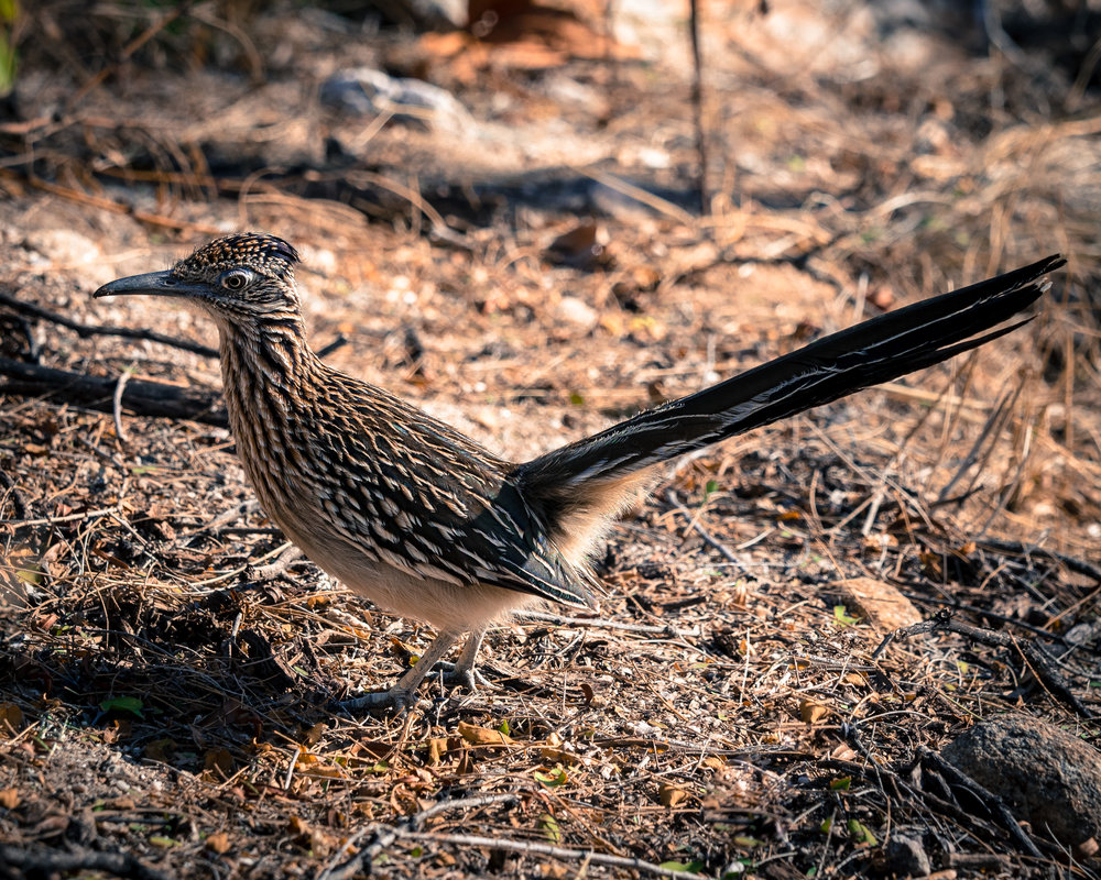 A roadrunner in Sabino Canyon.