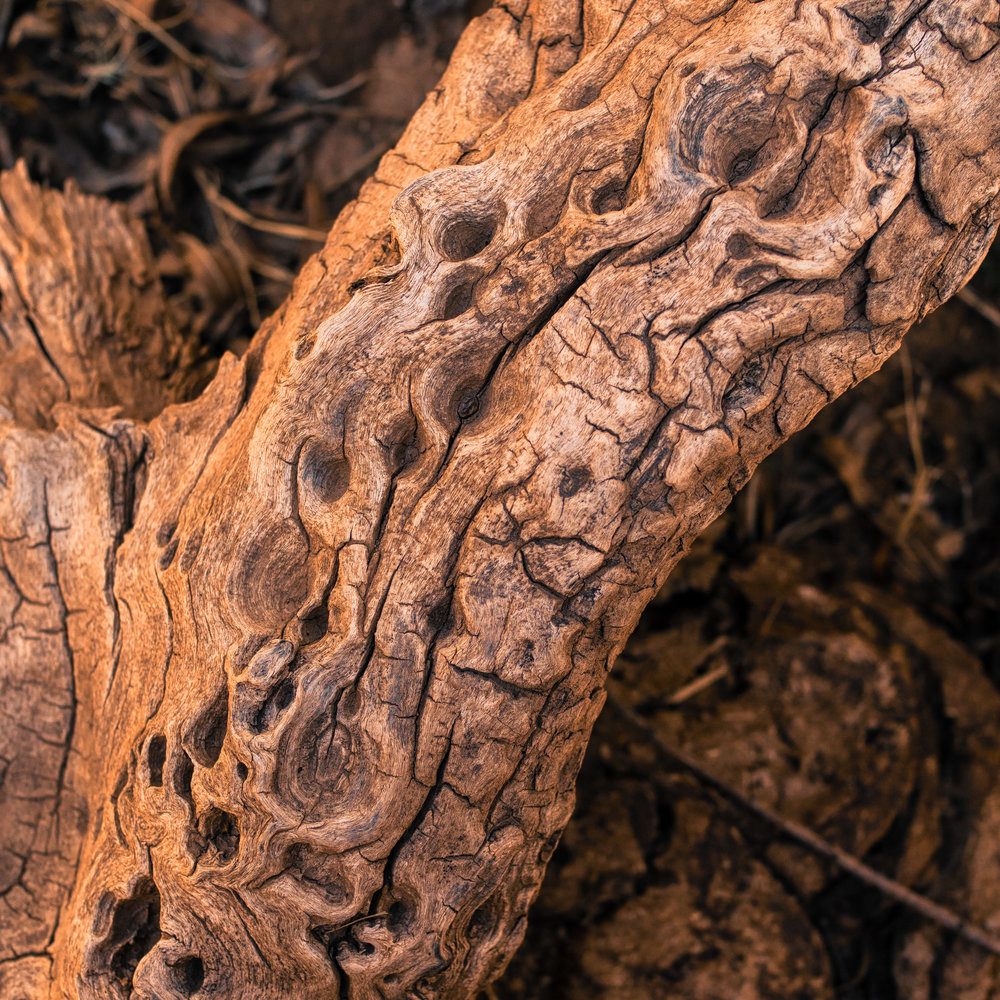 Rotting mesquite in Pagagonia State Park,