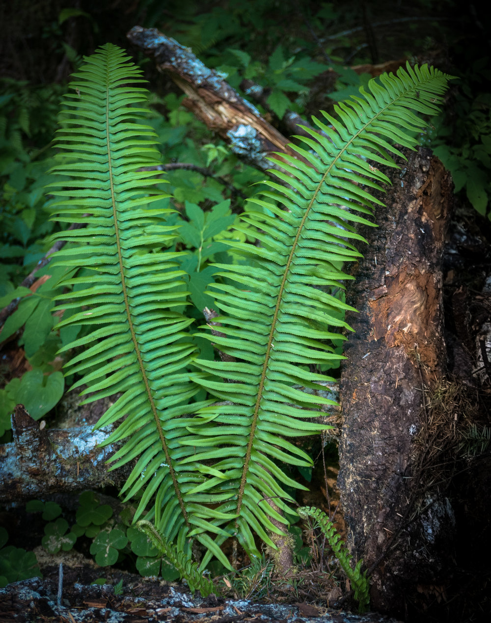 Ferns cover the forest floor like bear clover in the Sierra, only ferns are prettier.