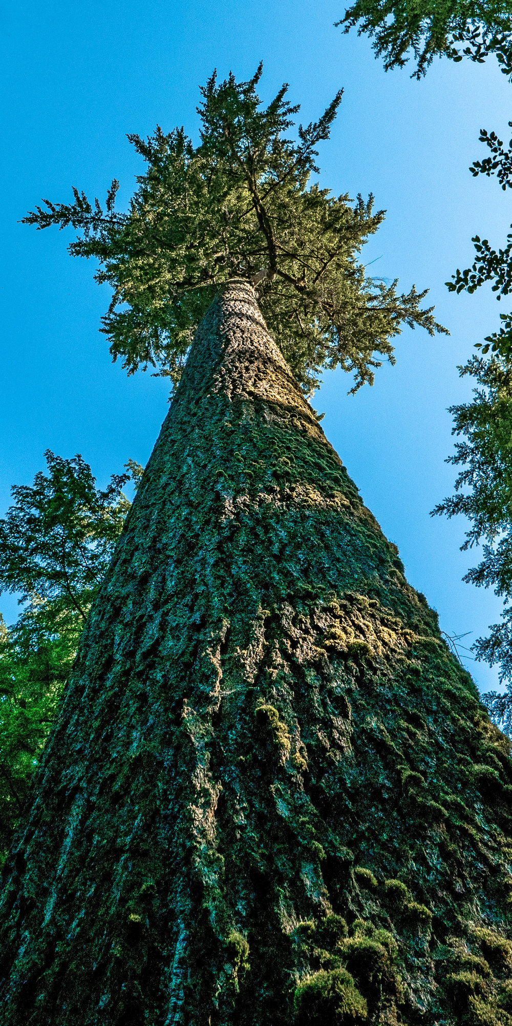 Douglas Fir grow big on the Olympic National Forest.